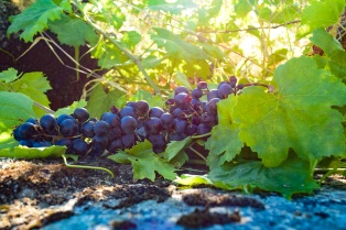 Grapes from the Douro River Valley in Portugal.